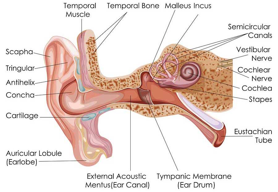 Suffering from Vertigo? Inner Ear Diagram